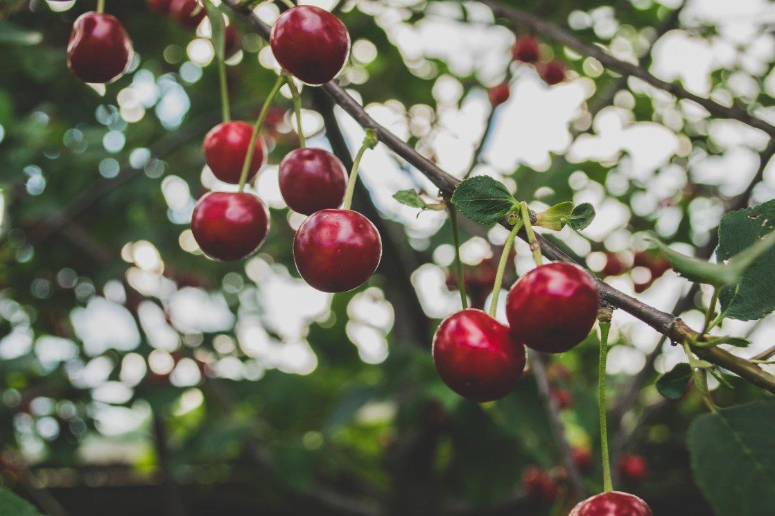 cherries-839864_1920