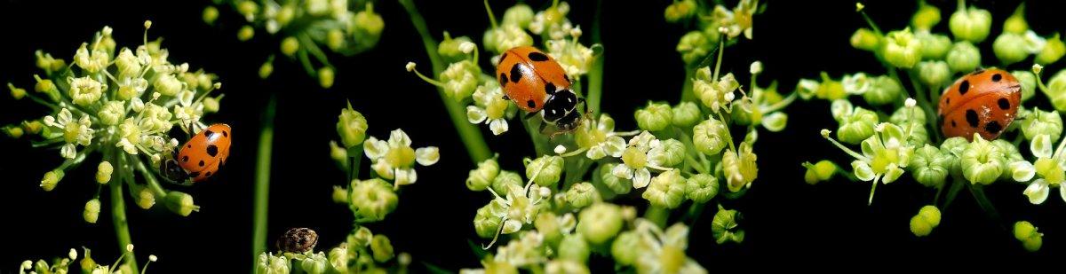 ladybirds-4001702_1920