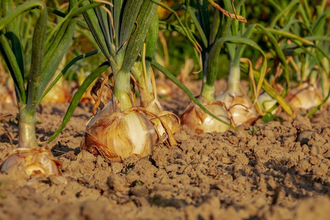 cebula w ogrodzie - grządki warzywne