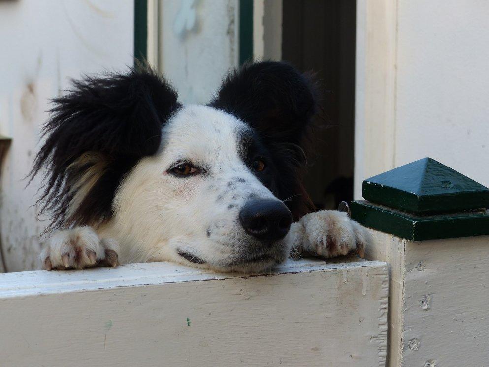 dog-2468636_1920