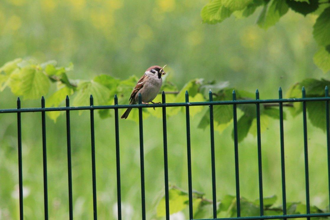 sparrow-188725_1920