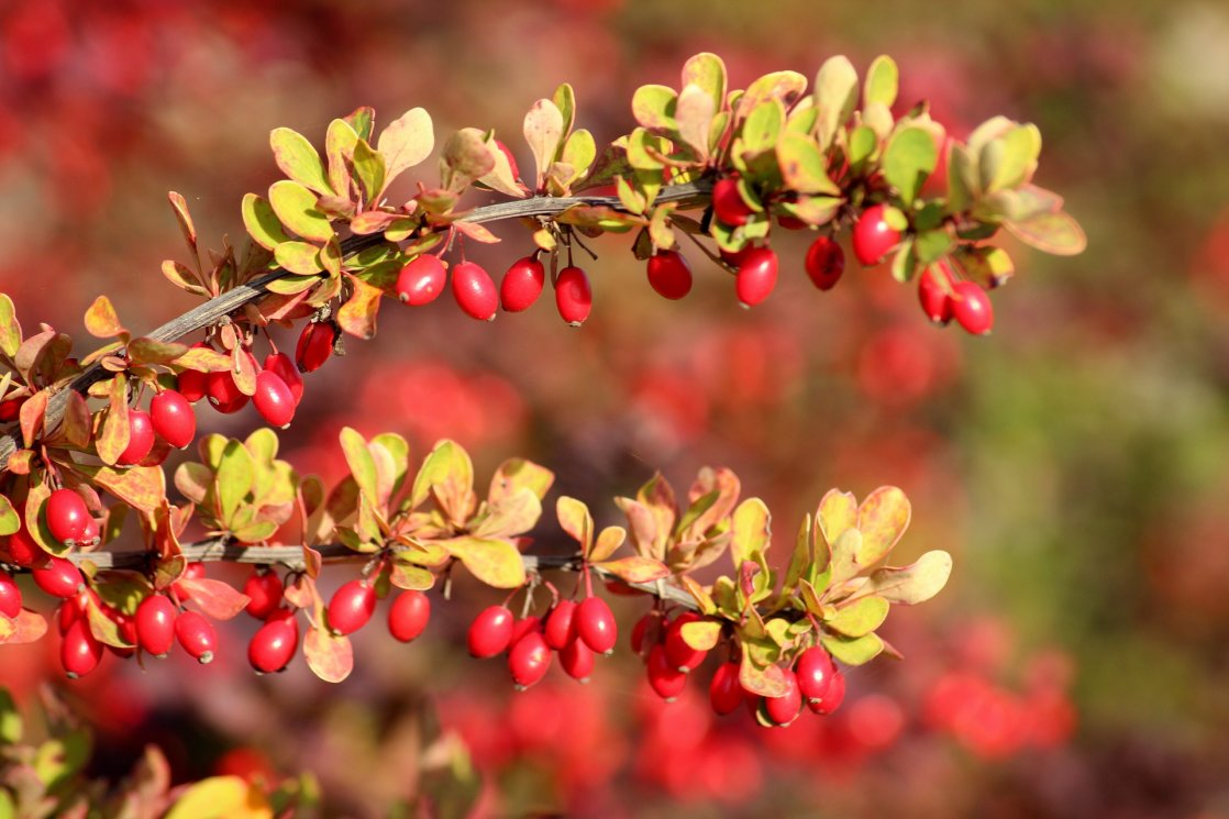 barberry-3733393_1920